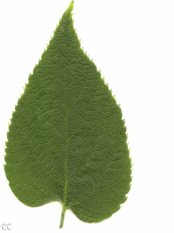 Celtis occidentalis 4